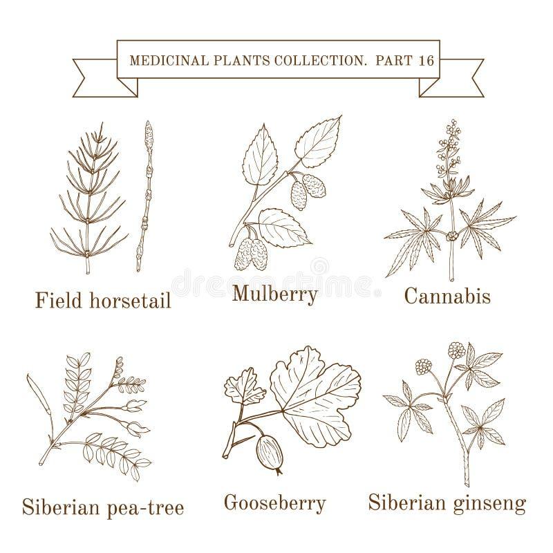 Colección del vintage de hierbas y de plantas médicas dibujadas mano, cola de caballo de campo, mora, cáñamo, guisante-árbol sibe stock de ilustración
