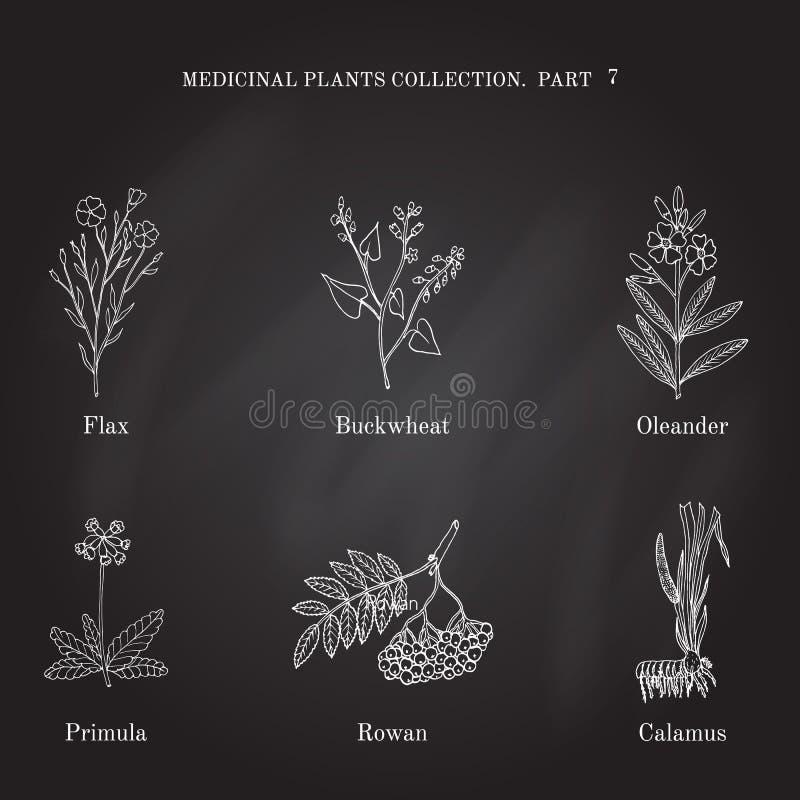 Colección del vintage de hierbas y de plantas médicas dibujadas mano lino, alforfón, adelfa, prímula, serbal, cálamo ilustración del vector