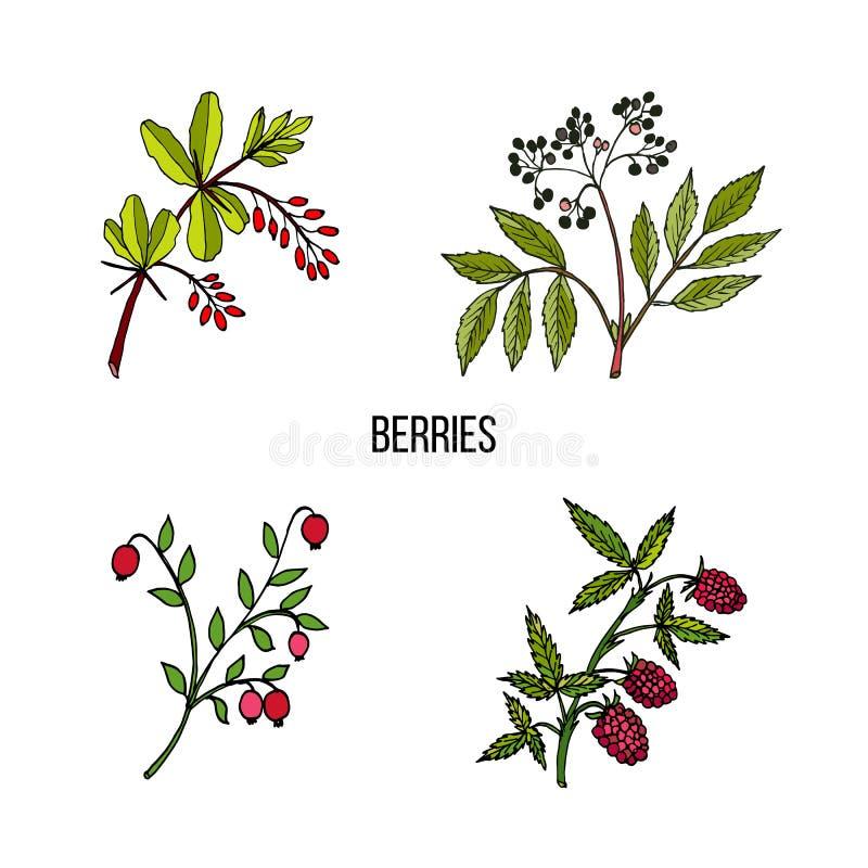 Colección del vintage de plantas salvajes dibujadas mano de las bayas libre illustration