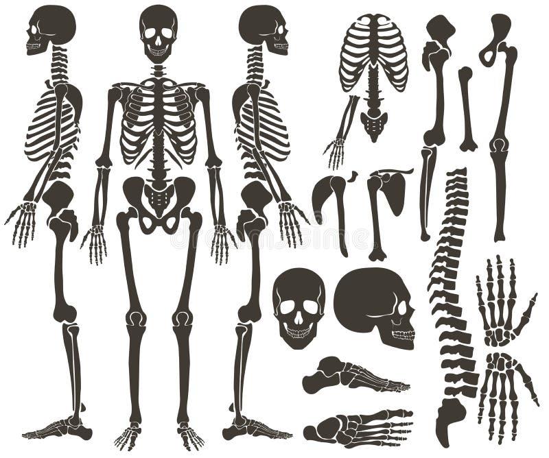 Colección esquelética de la silueta del negro oscuro de los huesos humanos Alto sistema detallado del vector del ejemplo de los h stock de ilustración
