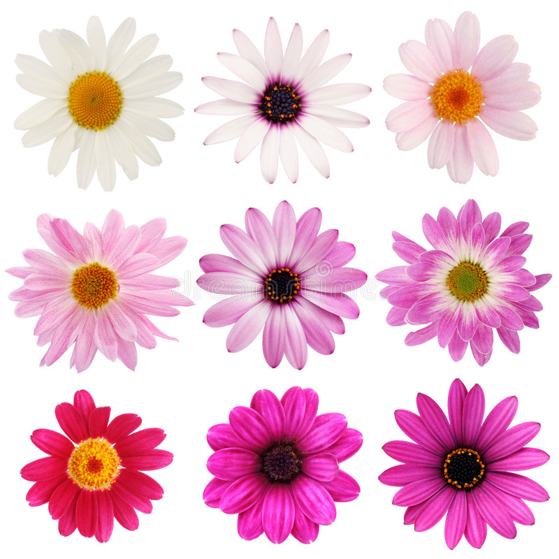 Colección rosada de la margarita foto de archivo