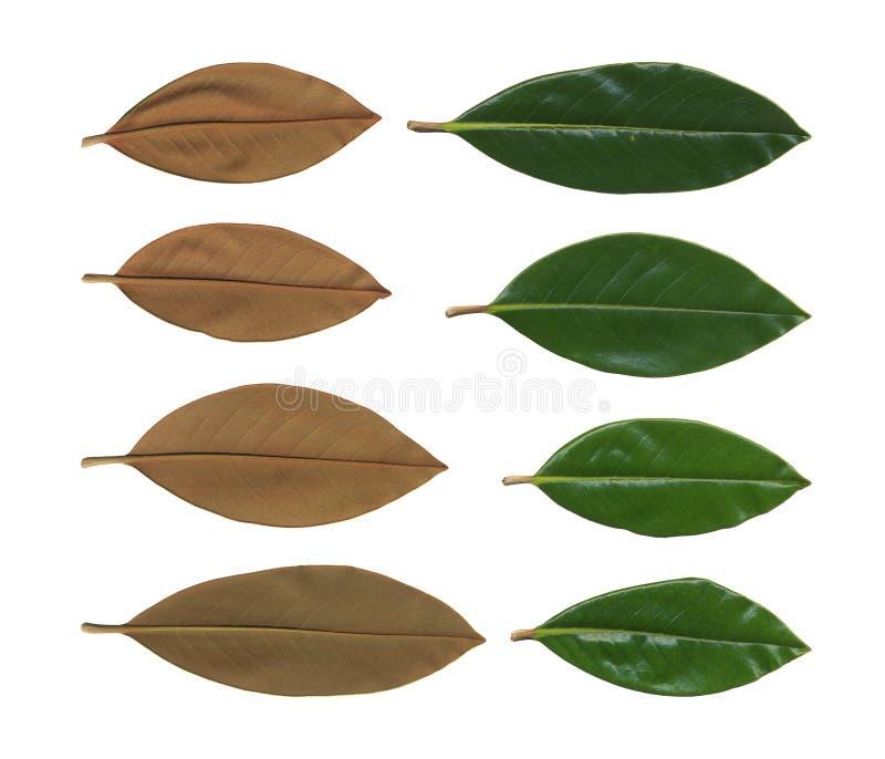 Colecci?n de plantas verdes Elementos para el dise?o con las hojas verdes aisladas en blanco La colección grande de magnolia se v foto de archivo libre de regalías