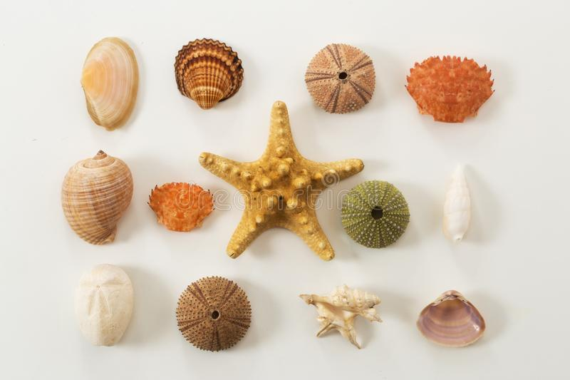 Colection of various sea animals urcihn, snail, sand dollar, shell, crab starfish. On white stock image