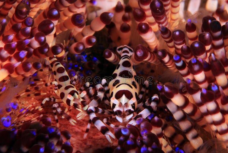 Coleman Shrimp nel discolo del fuoco fotografia stock