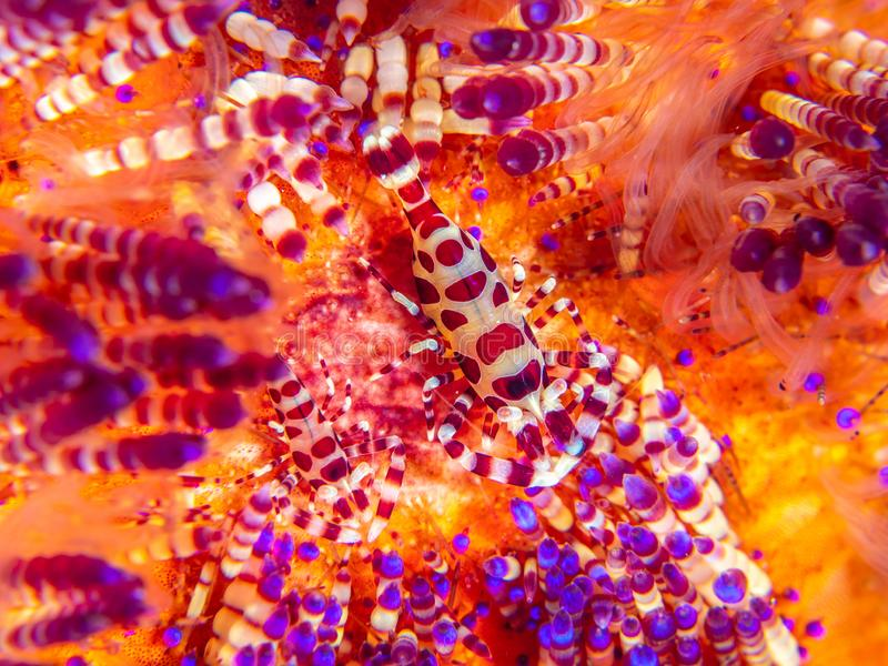 Coleman shrimp, Periclimenes colemani, on fire urchin, Astropyga radiata. Pair of coleman shrimps, Periclimenes colemani, on a fire urchin, Astropyga radiata royalty free stock image