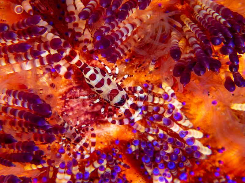 Coleman shrimp, Periclimenes colemani, on fire urchin, Astropyga radiata. Pair of coleman shrimps, Periclimenes colemani, on a fire urchin, Astropyga radiata stock photography