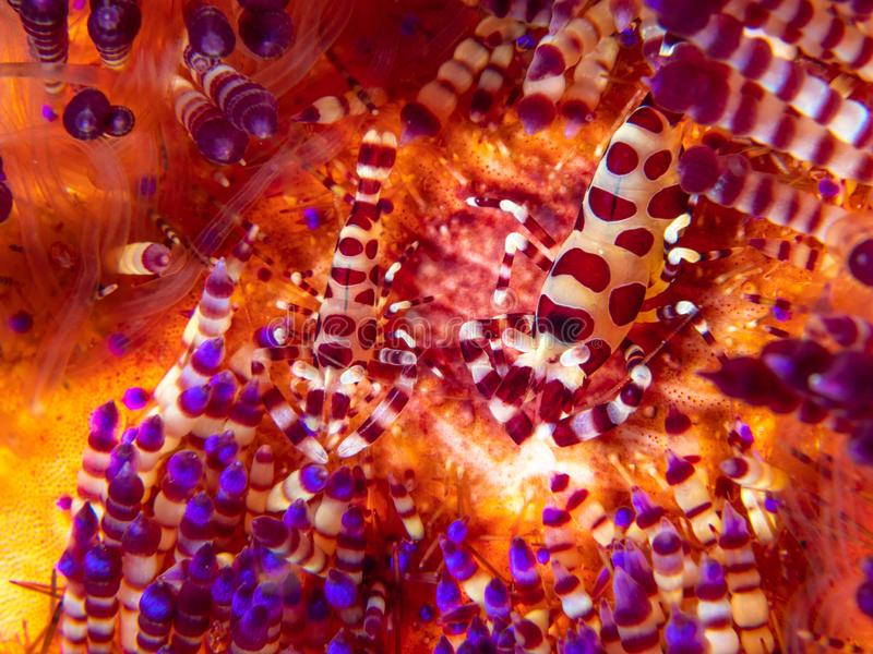 Coleman shrimp, Periclimenes colemani, on fire urchin, Astropyga radiata. Pair of coleman shrimps, Periclimenes colemani, on a fire urchin, Astropyga radiata stock photos