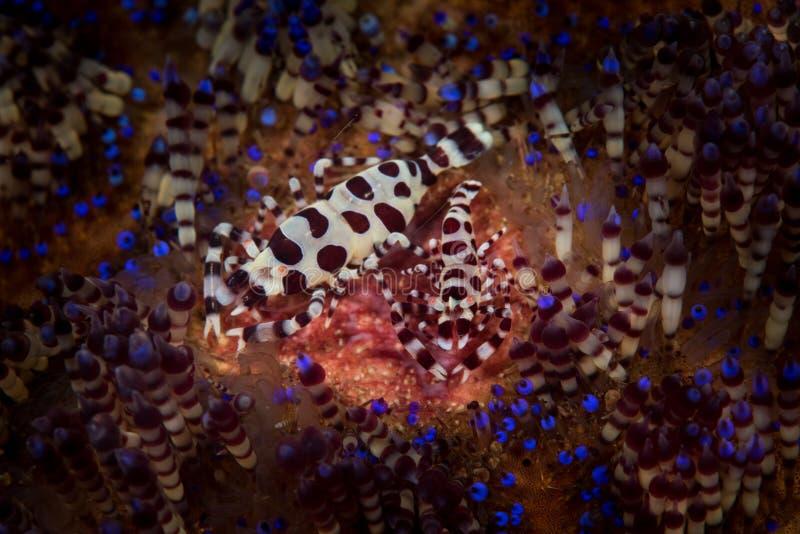 Coleman Shrimp royalty free stock photo
