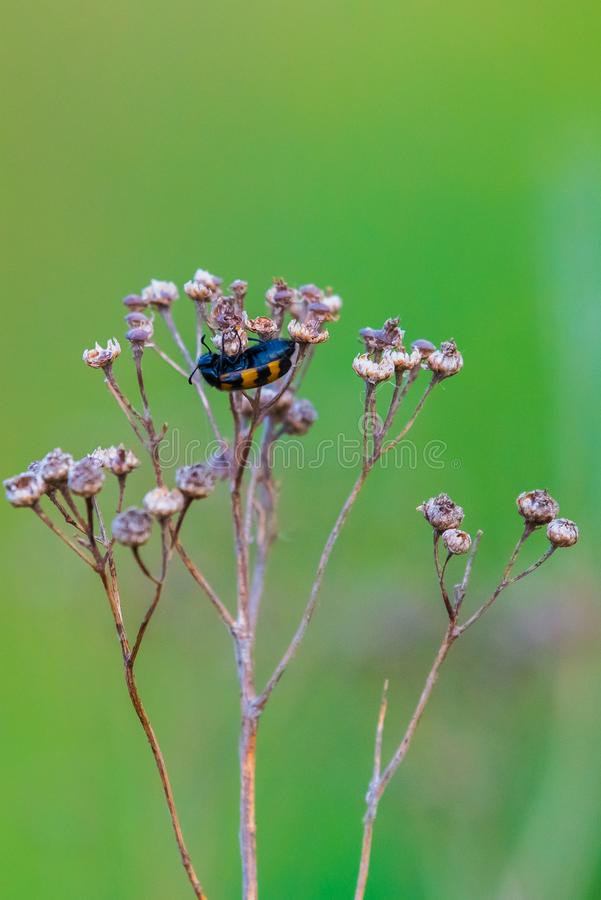 Coleoptera meloidae or blister beetle royalty free stock image