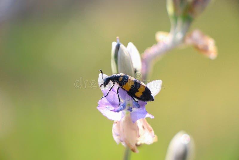 Coleoptera på petal arkivfoton