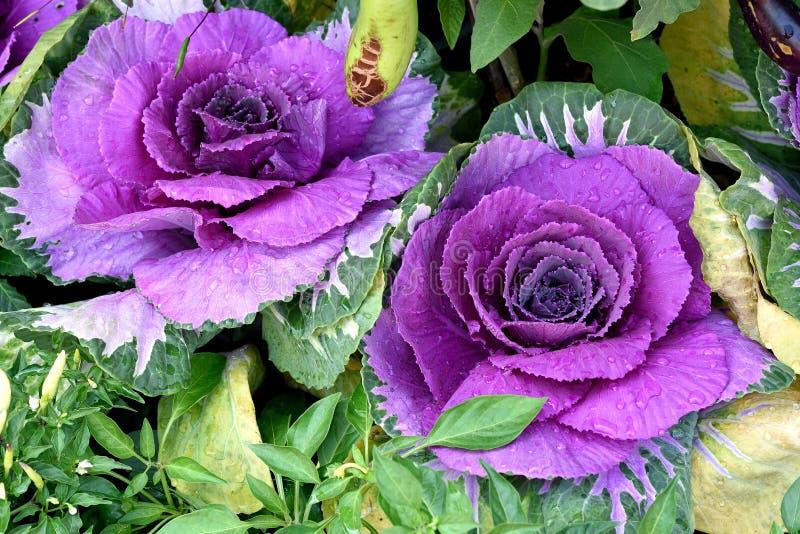 Coles púrpuras imágenes de archivo libres de regalías