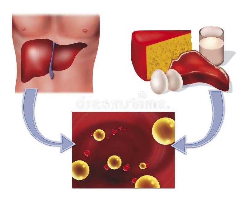 Colesterol e fígado ilustração royalty free