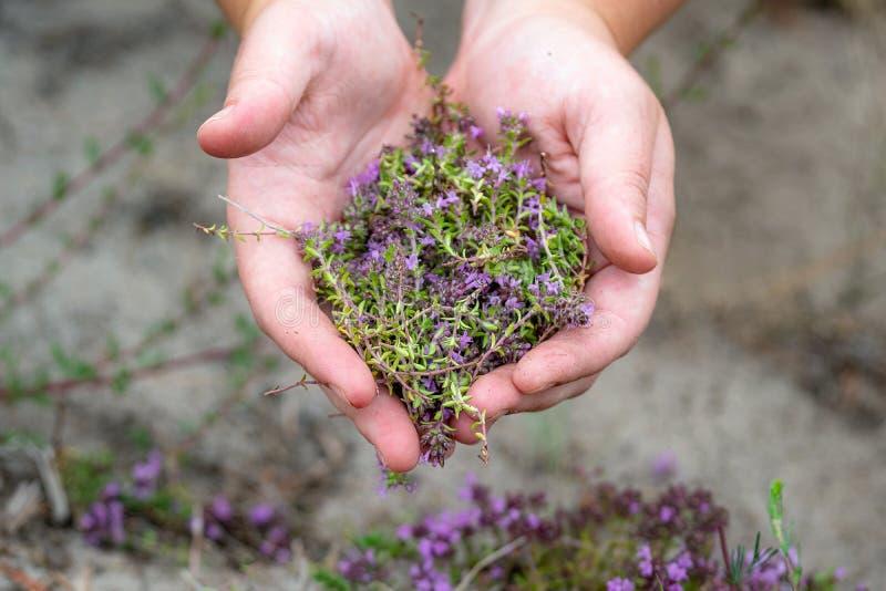 Coletando flores de tomilho silvestres ao ar livre As flores cor-de-rosa do timo vulgaris são utilizadas para o chá e como medica fotos de stock