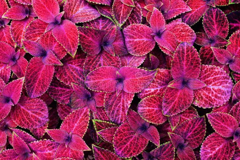 Coleus ρόδινο, μαύρο και πράσινο nettle υποβάθρου φύλλων διακοσμητικό στενό επάνω, χρωματισμένο φυτό, φωτεινή πορφυρή σύσταση φυλ στοκ εικόνες με δικαίωμα ελεύθερης χρήσης