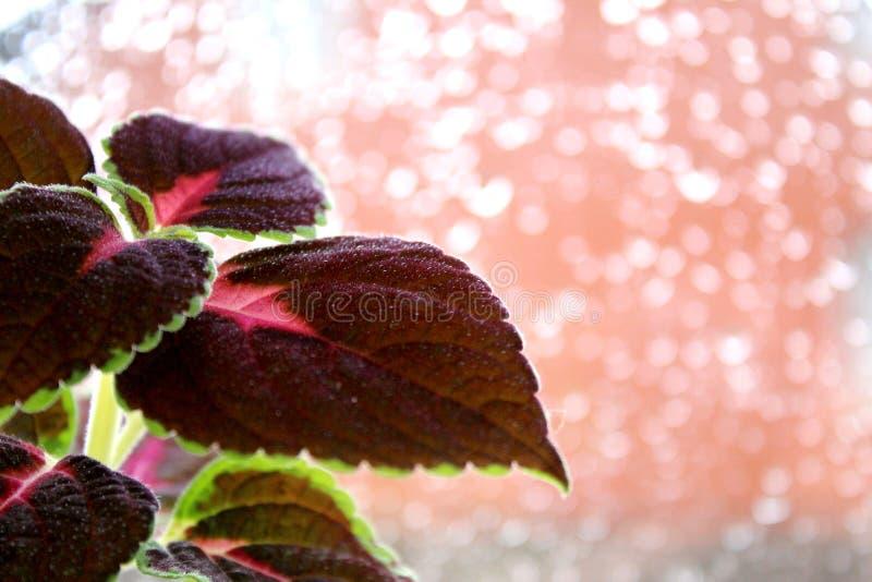 Coleus цветка на заднем плане ненастного окна стоковое изображение