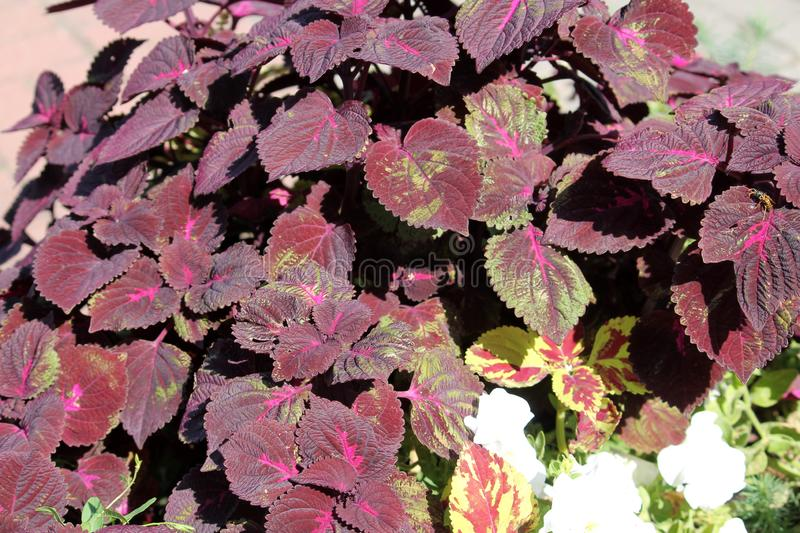 Coleus blumei or Painted nettle. Cultivar with dark purple leaves royalty free stock photography