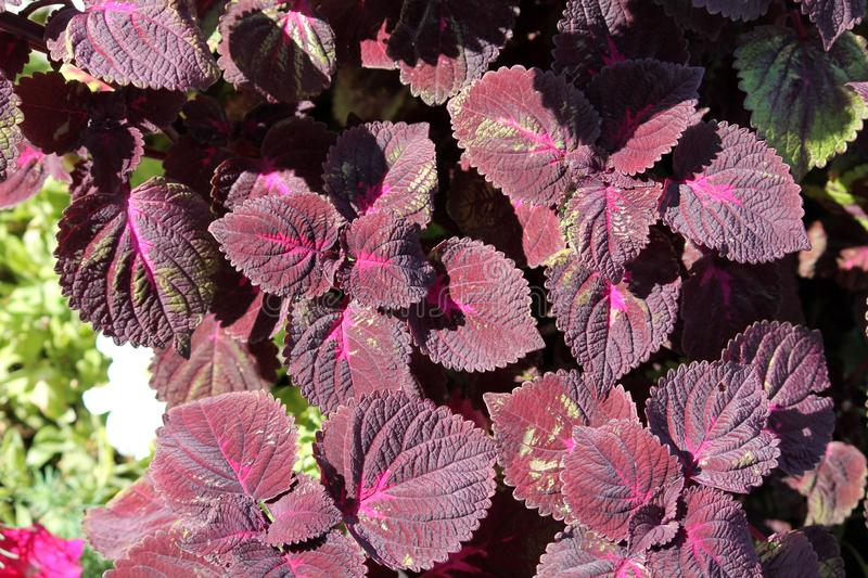 Coleus blumei or Painted nettle. Cultivar with dark purple leaves royalty free stock photos