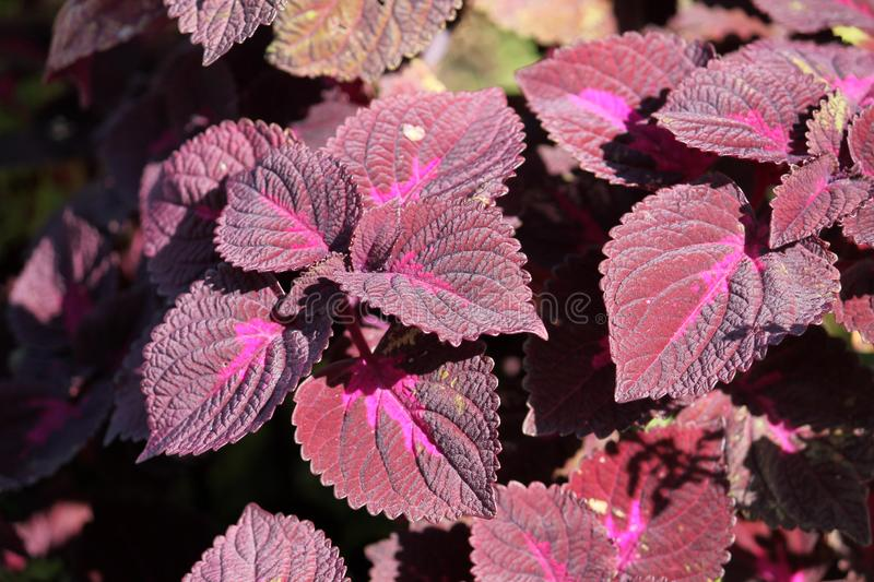 Coleus blumei or Painted nettle. Cultivar with dark purple leaves stock images