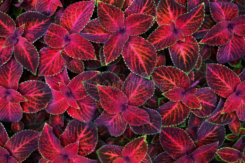 Coleus dark pink and black leaves decorative background close up, painted nettle flowering plant, bright red and green foliage stock images