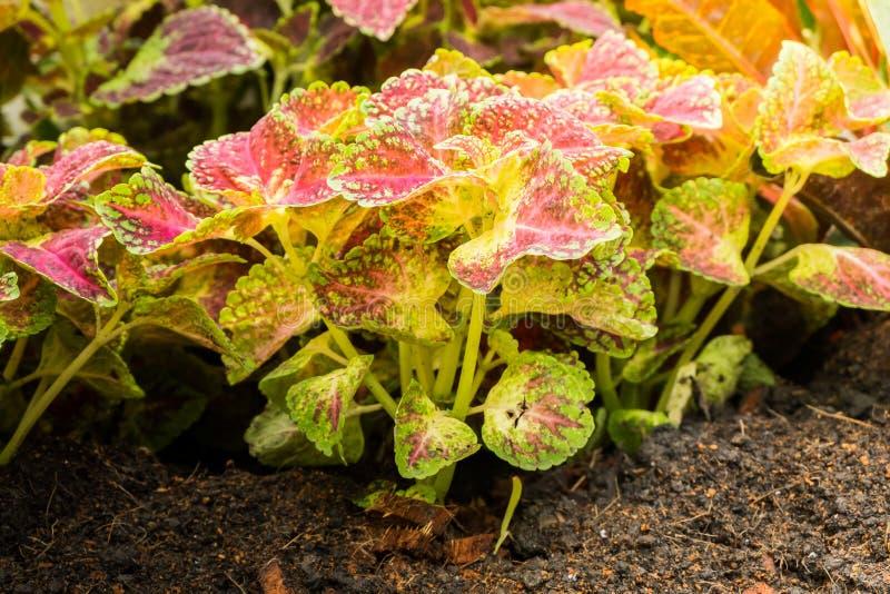 Coleus de scutellarioides de Plectranthus dans le jardin photos stock
