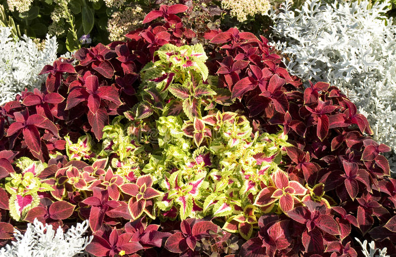 Coleus different types stock photography