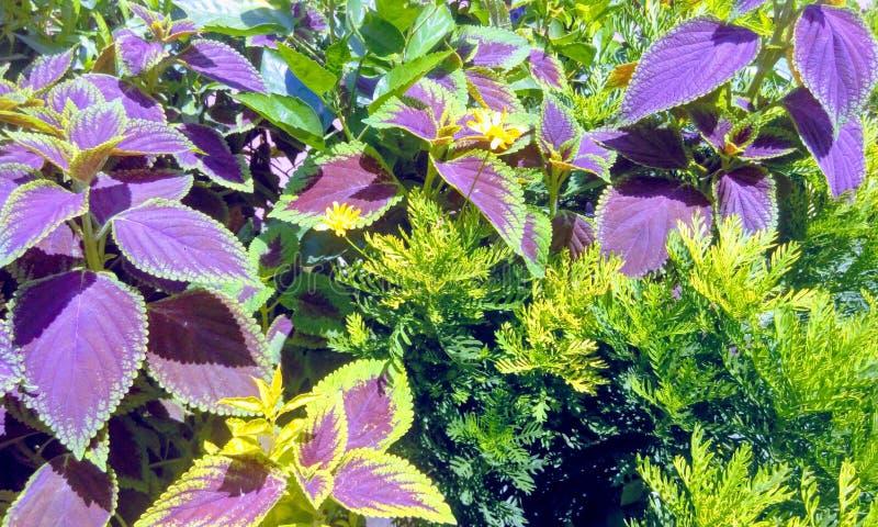 Coleus dos scutellarioides de Plectranthus, plantas com verde e Leavescommonly roxo conhecido como o coleus fotografia de stock royalty free