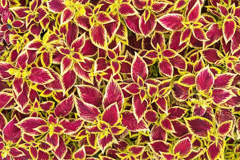 Coleus flower. Bright coleus leaves with a contrasting pattern.  stock images