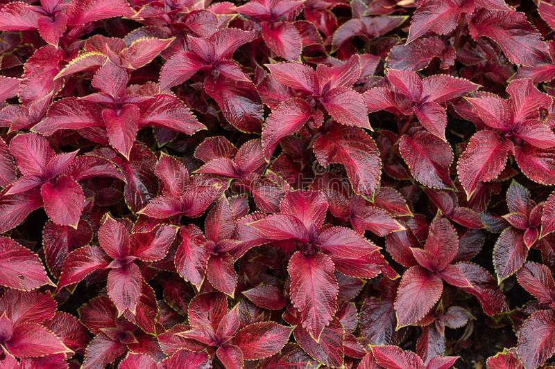 Coleus flower foliage background. Beautiful perspective of natural red coleus plant leaves in garden at summer sunny day royalty free stock photos