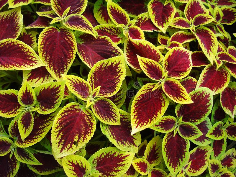 Coleus Kong bright and unusual ornamental plant royalty free stock photos