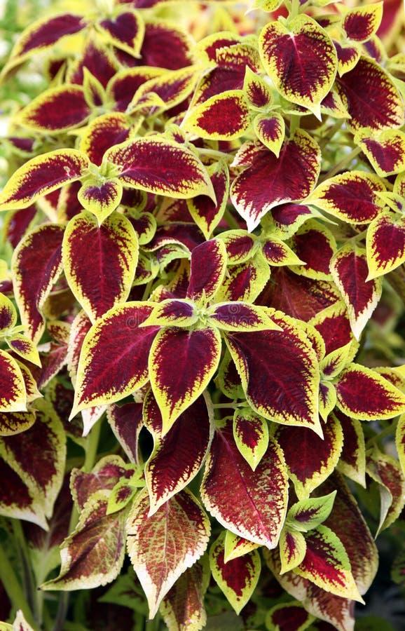 Coleus o ortica ornamentale immagine stock immagine di for Fiori ornamentali