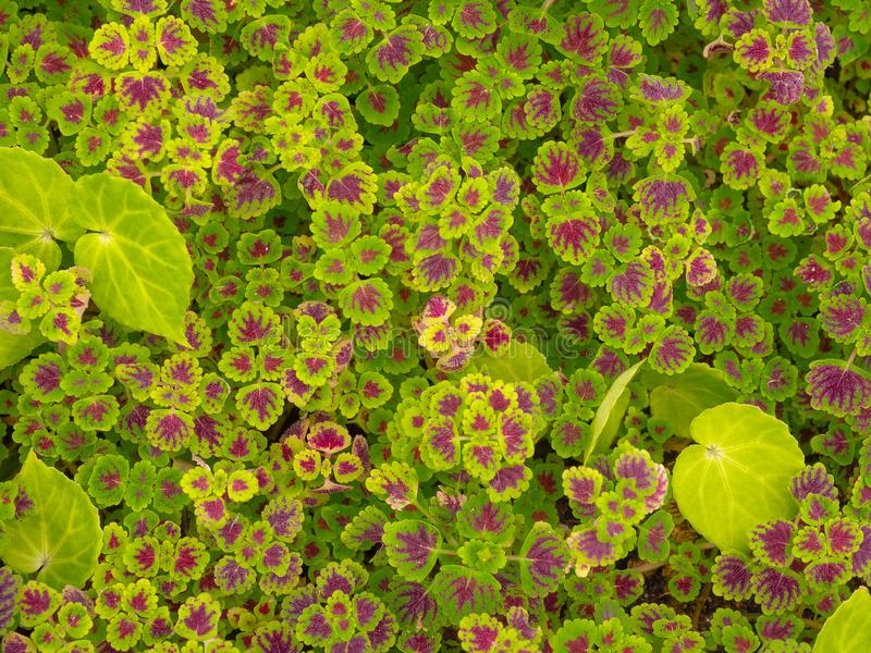 Coleus, Painted nettles in garden background royalty free stock image