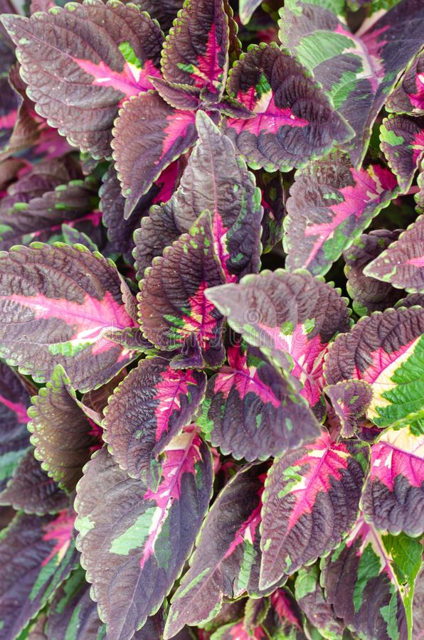 Coleus plant with brightly colored leaves. Patterned purple-green Coleus leaves background. Closeup royalty free stock photography