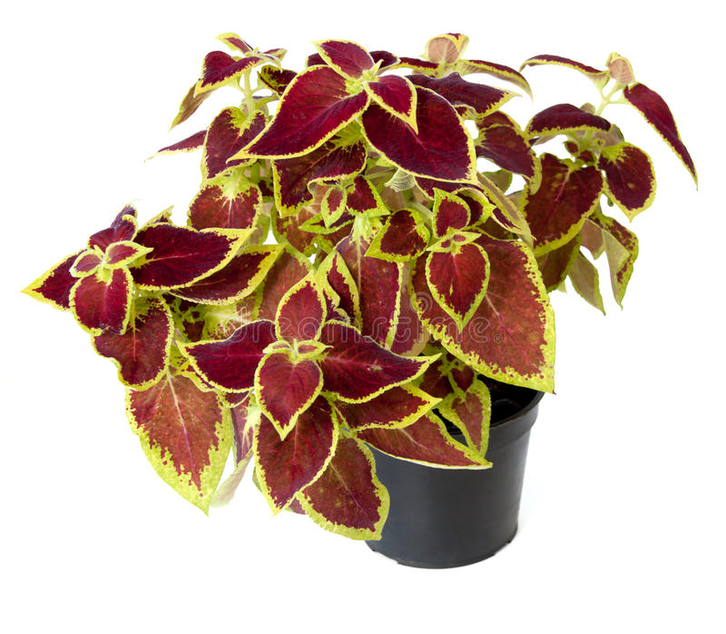 Coleus in a pot royalty free stock images