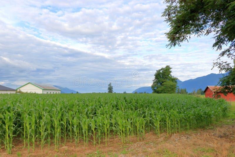 Colheita abundante do milho durante o verão imagem de stock royalty free