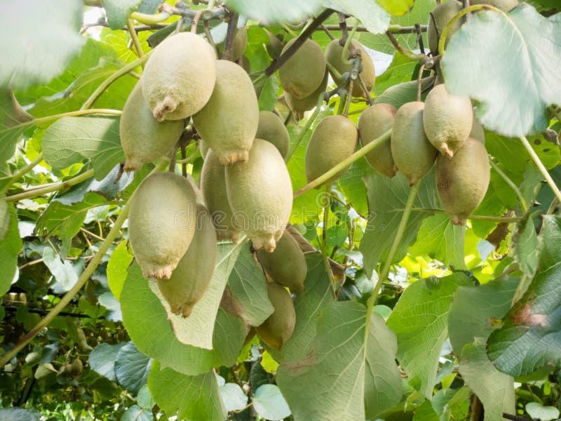 Colheita agrícola madura da colheita dos frutos de quivi pronta foto de stock
