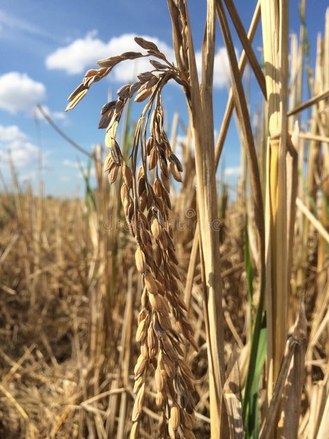 colheita, arroz, campo fotografia de stock