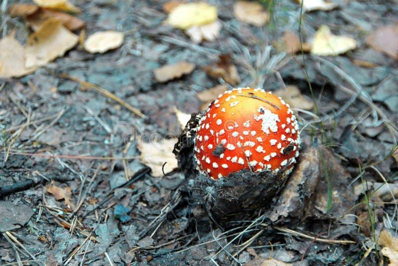 Colheita august de setembro do outono vermelho da floresta do agaric de mosca do amanita do cogumelo fotos de stock royalty free