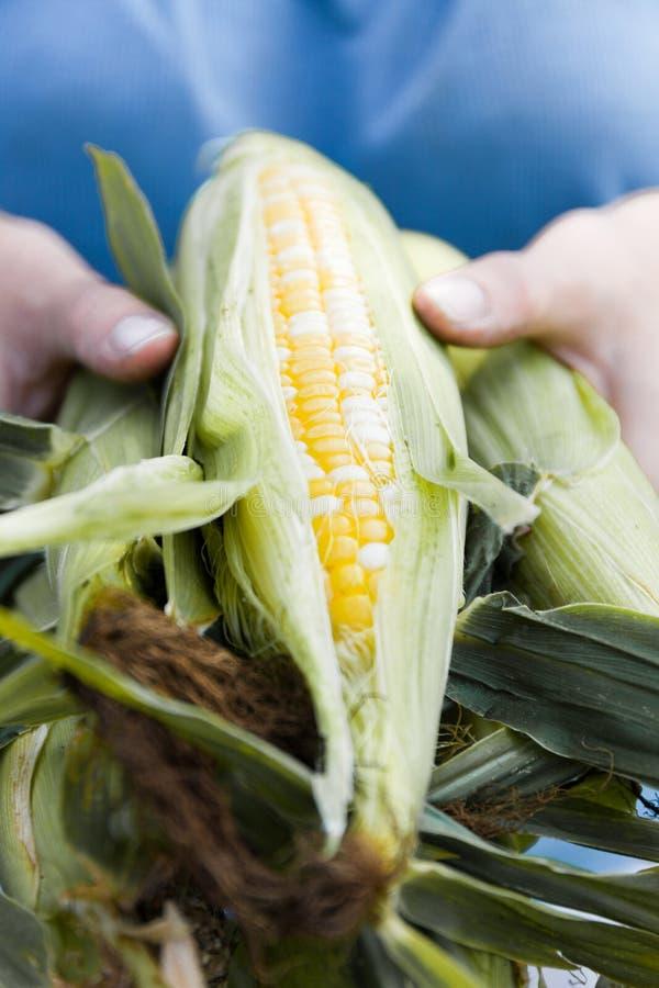 Colheita da agricultura do milho, colheita nas mãos do fazendeiro Alimento biol?gico imagem de stock royalty free