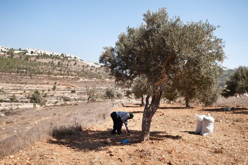 Colheita da azeitona de Palestina fotografia de stock royalty free