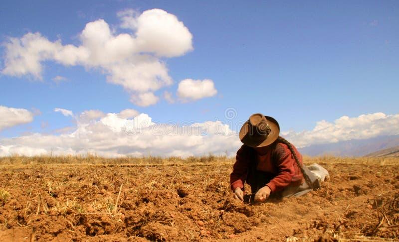 Colheita da batata nos Andes foto de stock royalty free