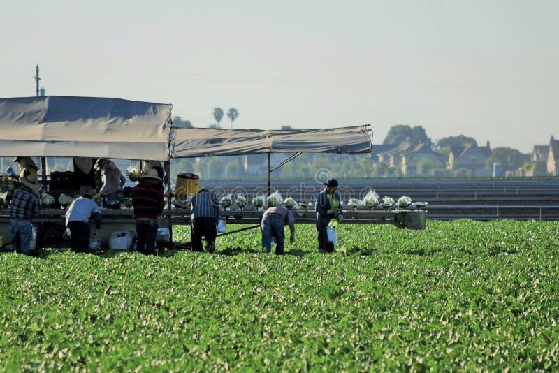 Colheita da colheita da alface imagem de stock