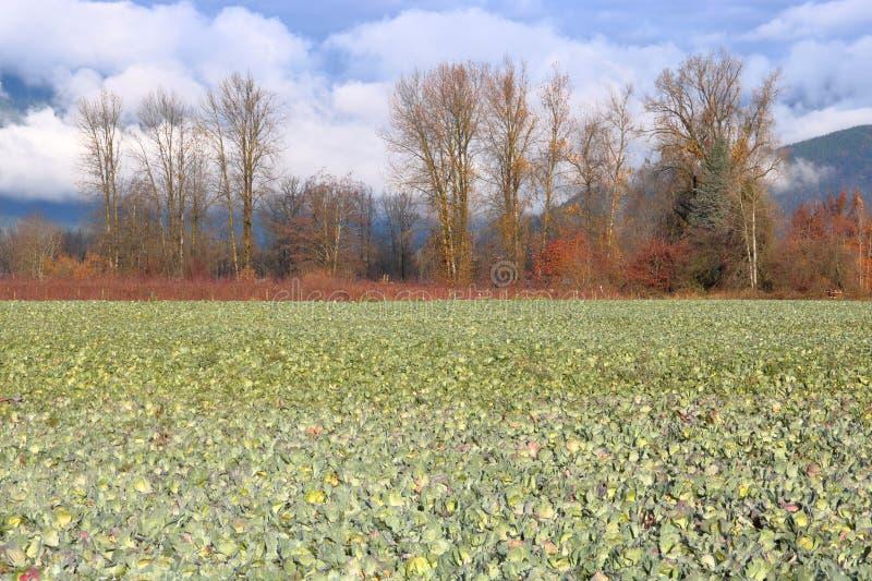 Colheita da couve de Unharvested no inverno fotografia de stock