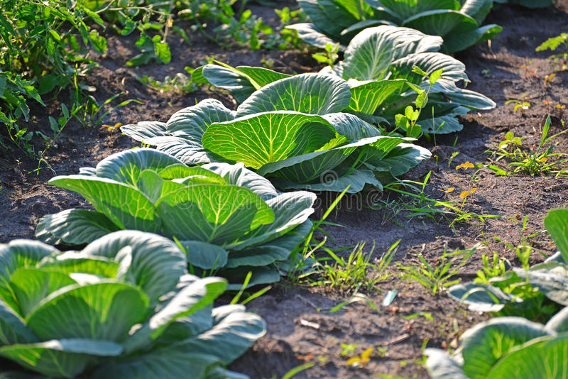 A colheita da couve no jardim foto de stock