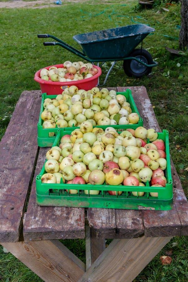 Colheita da maçã da colheita dos povos imagem de stock