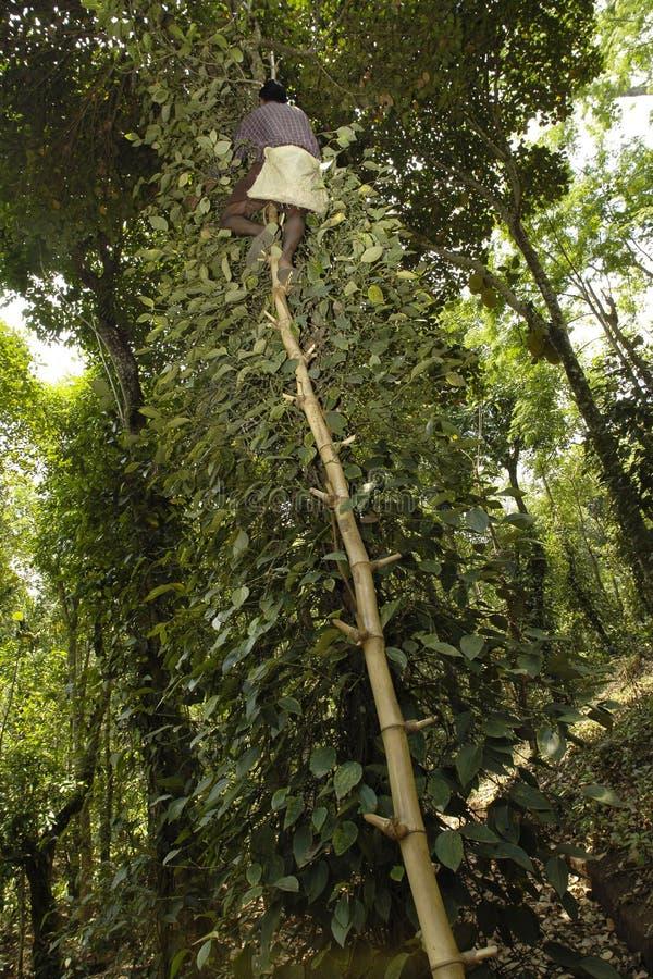 Colheita da pimenta, Kerala, India foto de stock royalty free
