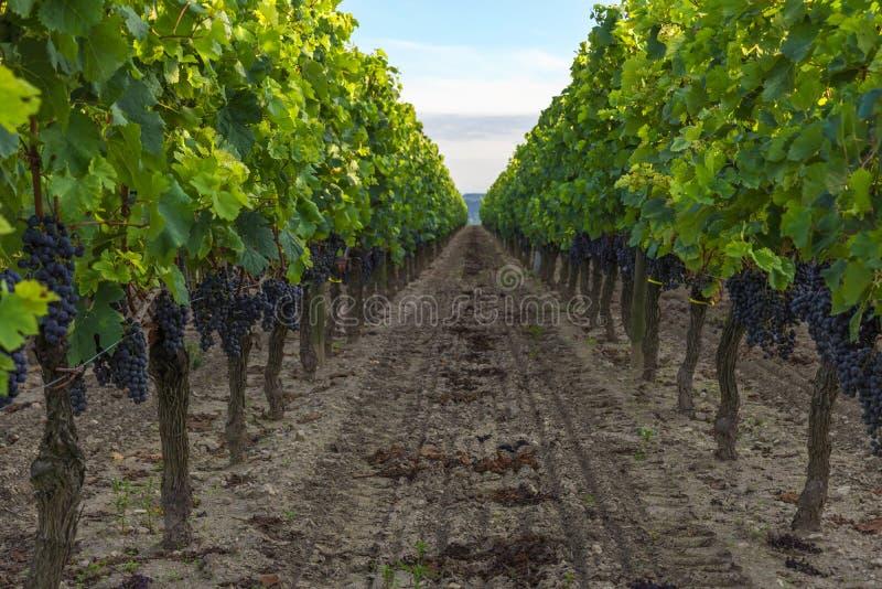 Colheita da uva no vinhedo na região de aquitaine, França do Bordéus imagens de stock