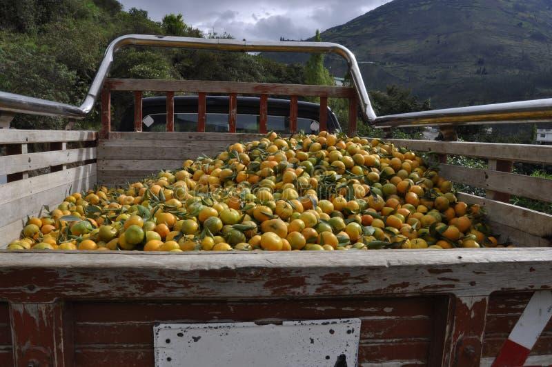Colheita das tangerinas foto de stock royalty free
