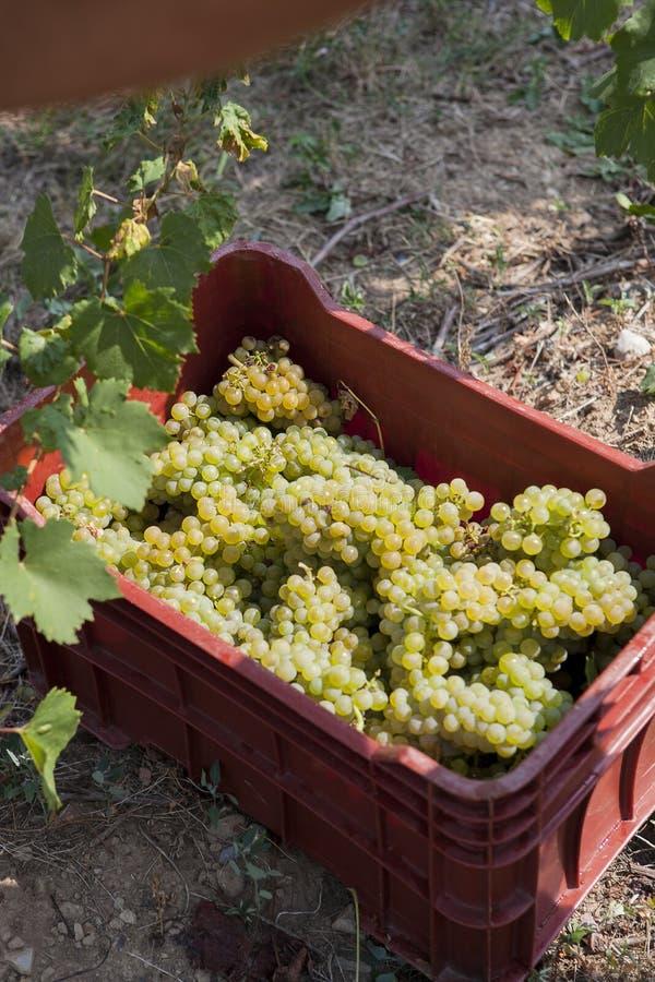 Colheita das uvas para o vinho, em uma cesta imagem de stock royalty free