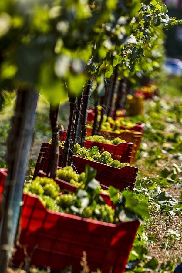 Colheita das uvas para o vinho, em uma cesta fotos de stock royalty free