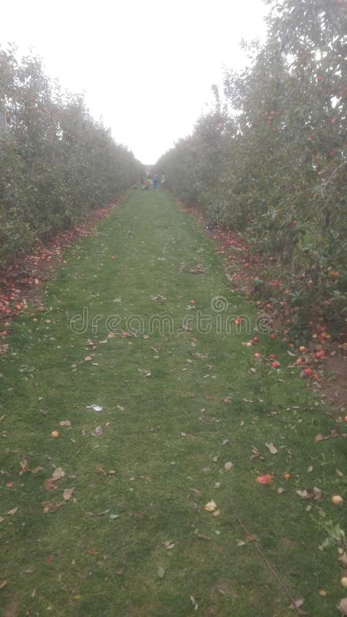 Colheita de Apple fotos de stock royalty free
